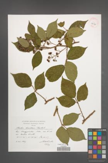Rubus lusaticus [KOR 39048]