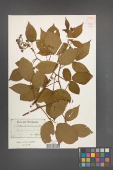 Rubus lusaticus [KOR 40510]