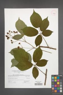 Rubus macrophyllus [KOR 42797]