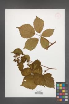 Rubus macranthelos [KOR 52329]