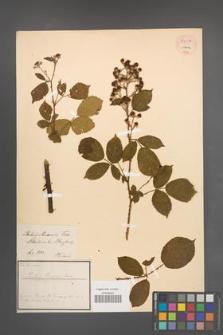 Rubus maassii [KOR 54037]
