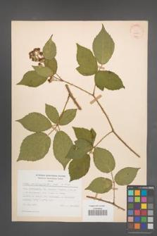 Rubus macrophyllus [KOR 30760]