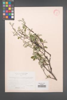Amelanchier ovalis [KOR 11681]