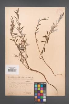 Andromeda polifolia [KOR 2395]