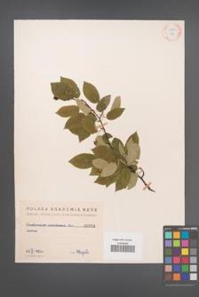 Amelanchier canadensis [KOR 384]