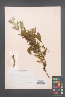 Anagyris foetida [KOR 11944]