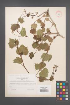 Ampelopsis vitifolia [KOR 11726]