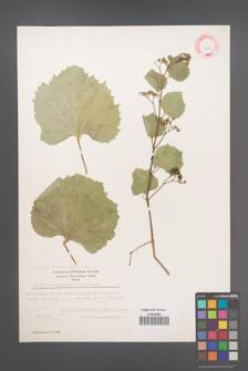 Ampelopsis vitifolia [KOR 11724]