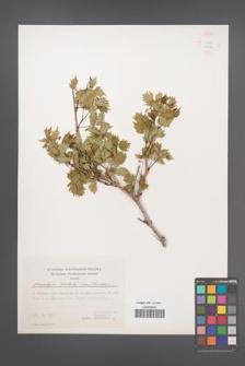 Ampelopsis orientalis [KOR 24999]