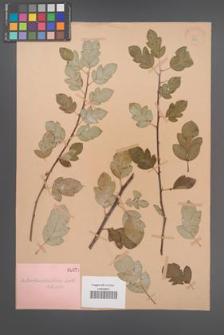 Amelasorbus hoseri [KOR 377]