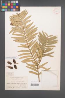 Amentotaxus argotaenia [KOR 11702]