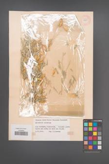 Ammodendron argenteum [KOR 54035]