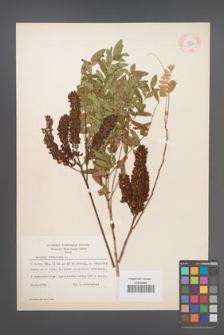 Amorpha fruticosa [KOR 11718]