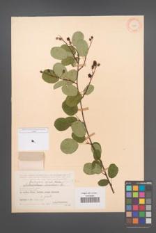 Amelanchier spicata [KOR 11664]