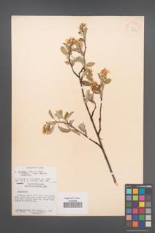 Amelanchier spicata [KOR 33746]