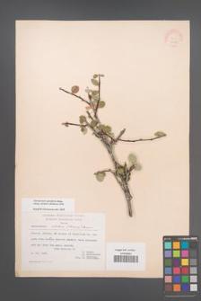 Amelanchier parviflora [KOR 20989]
