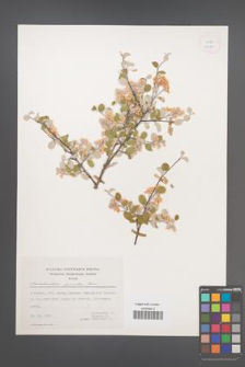 Amelanchier parviflora [KOR 25069]