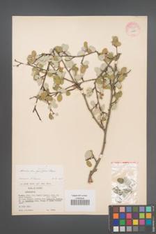 Amelanchier ovalis [KOR 55328]