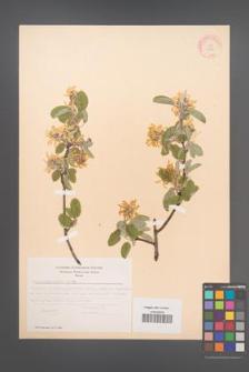 Amelanchier ovalis [KOR 11652]