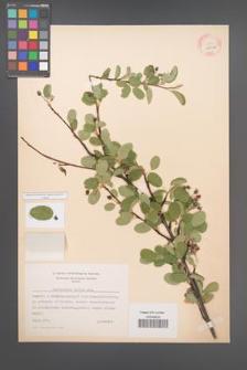 Amelanchier ovalis [KOR 11654a]
