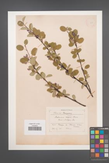 Amelanchier ovalis [KOR 11695]