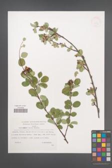 Amelanchier ovalis [KOR 32854]
