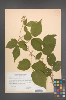 Rubus macrophyllus [KOR 30763]