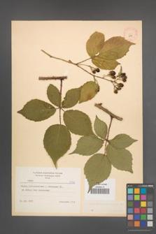 Rubus macrophyllus [KOR 8770]