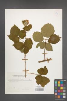 Rubus marssonianus [KOR 24886]