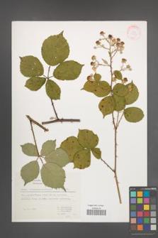 Rubus marssonianus [KOR 31567]