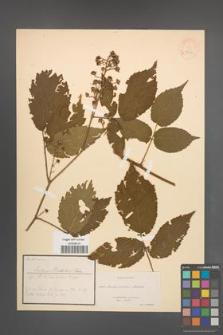 Rubus metschii [KOR 18512]