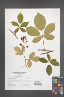 Rubus micans [KOR 41715]