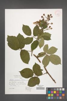 Rubus micans [KOR 39961]