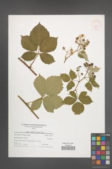 Rubus mollis [KOR 40859]