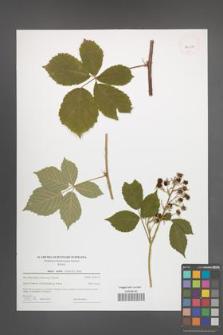 Rubus mollis [KOR 44014]