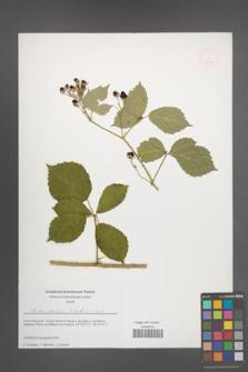 Rubus mollis [KOR 51643]