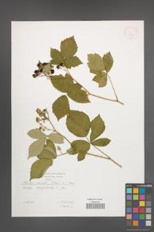 Rubus mollis [KOR 29530]