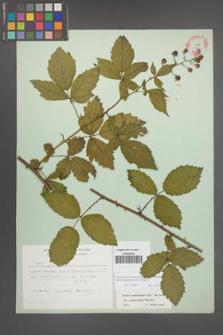 Rubus macromontanus [KOR 22549]