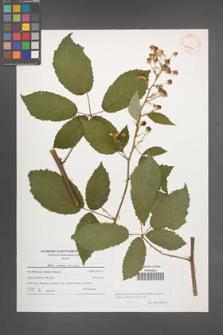Rubus macromontanus [KOR 41046]
