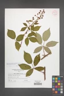 Rubus macromontanus [KOR 54052]