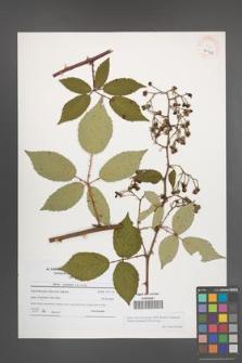 Rubus macromontanus [KOR 40943]