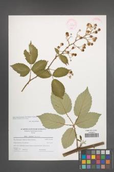 Rubus macromontanus [KOR 44608]
