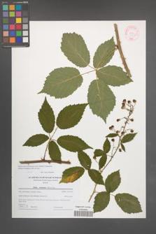 Rubus macromontanus [KOR 44606]