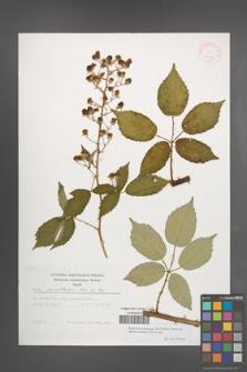 Rubus macromontanus [KOR 29487]