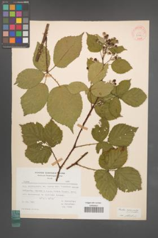 Rubus nemoralis [KOR 30770]