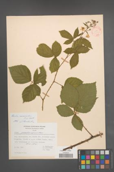 Rubus nemoralis [KOR 31402]