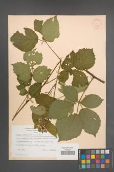 Rubus nemoralis [KOR 30776]