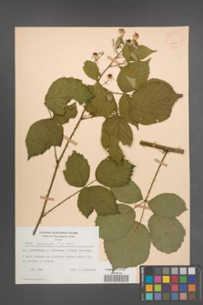 Rubus nemoralis [KOR 54022]
