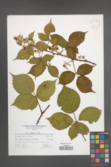 Rubus nemoralis [KOR 41739]