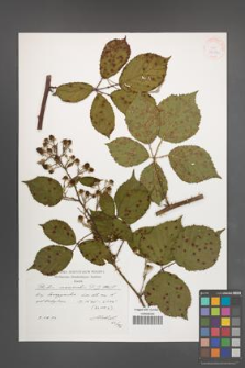 Rubus nemoralis [KOR 38289]